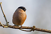 male Bullfinch, Brimpton