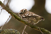 Little Owl, Brimpton