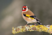 Male Goldfinch, Brimpton