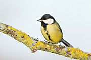 Great Tit, Brimpton