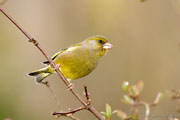 Male Greenfinch, Brimpton