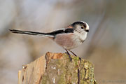 Long-tailed Tit, Brimpton