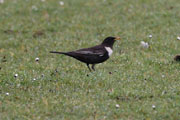 Ring Ouzel (Greenham Common 4th April)
