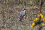 Wheatear (Greenham Common 4th April)